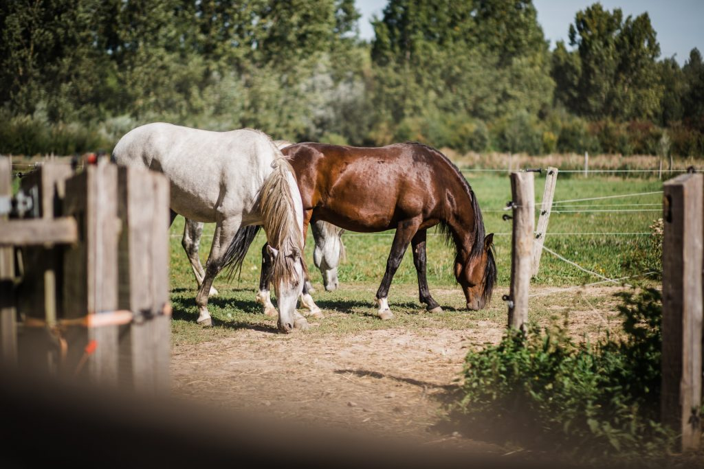 Kheiron | Equine Assisted Learning | Cartujano's en Peruaanse Paso