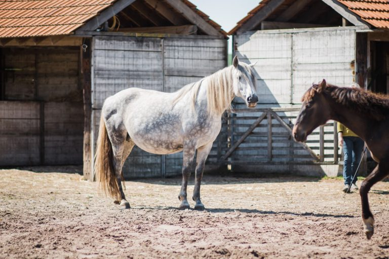 Kheiron | Equine Assisted Learning | Kheiron | Equine Assisted Learning | Cartujano en Peruaanse Paso paarden