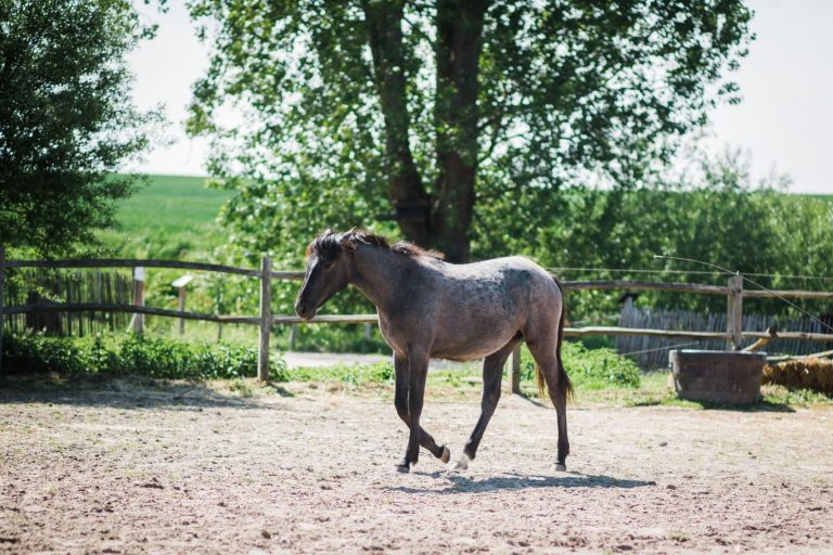Kheiron | Equine Assisted Learning | Peruaanse Paso veulen