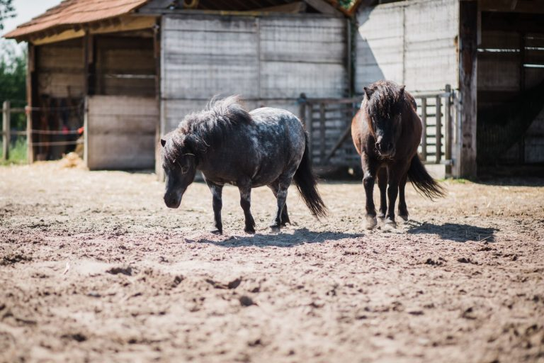 Kheiron | Equine Assisted Learning | Shetlanders