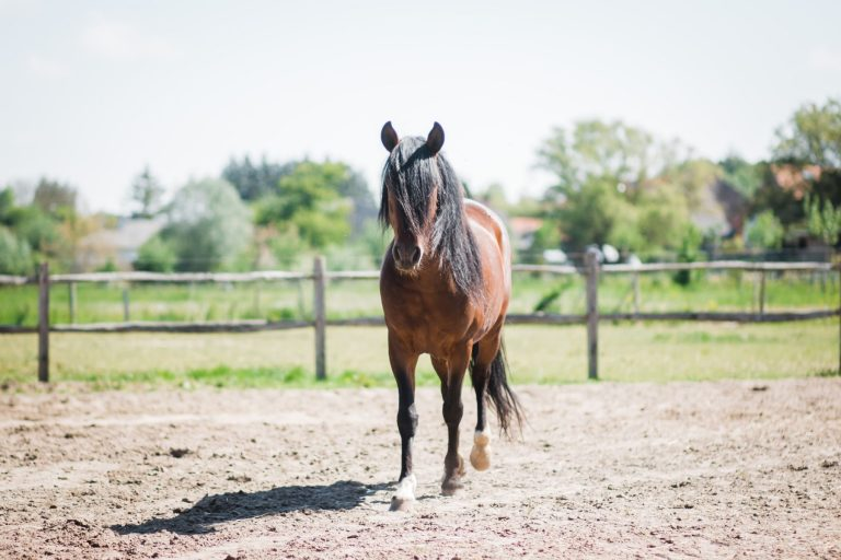 Kheiron | Equine Assisted Learning | Peruaanse Paso