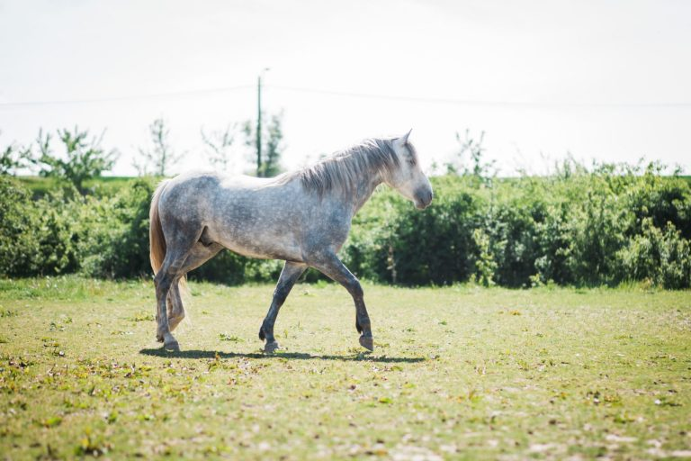 Kheiron | Equine Assisted Learning | Cartujano paard