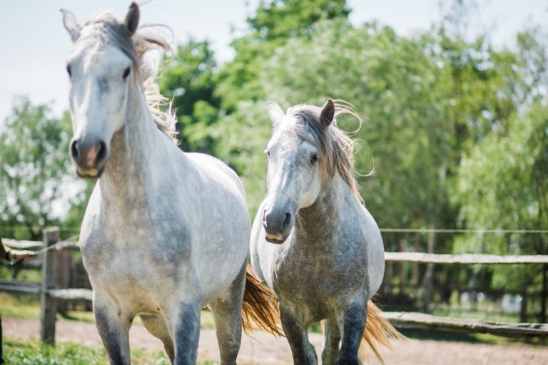 Kheiron | Equine Assisted Learning | Cartujano paarden