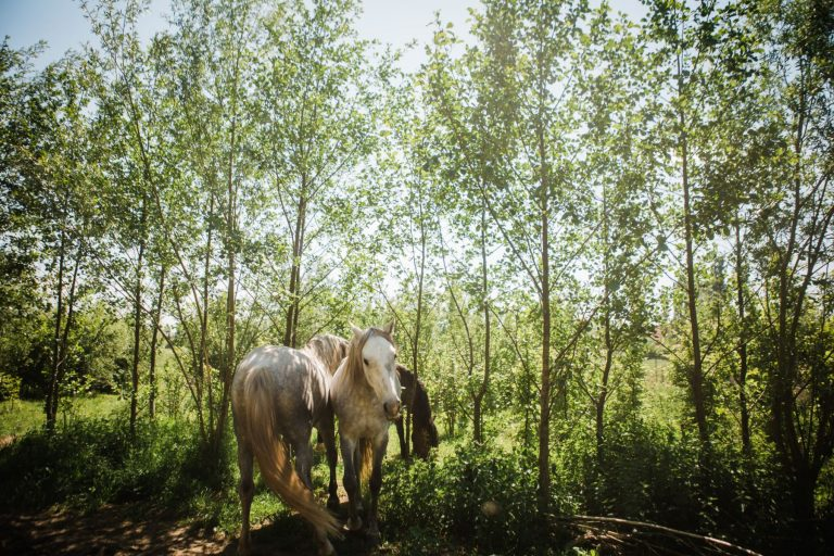 Kheiron | Equine Assisted Learning | Cartujano's en Peruaanse Paso in bosjes