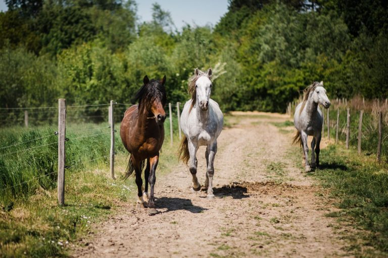 Kheiron | Equine Assisted Learning | Cartujano en Peruaanse Paso paarden in draf